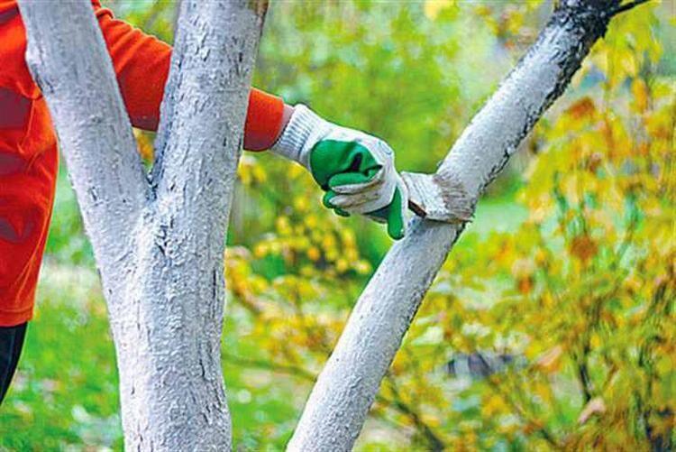 побелка дерева осенью