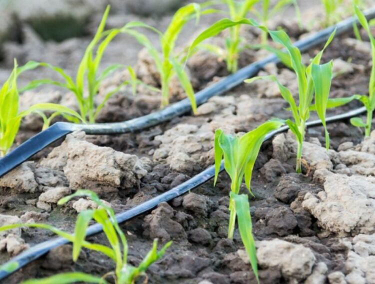 полив кукурузы