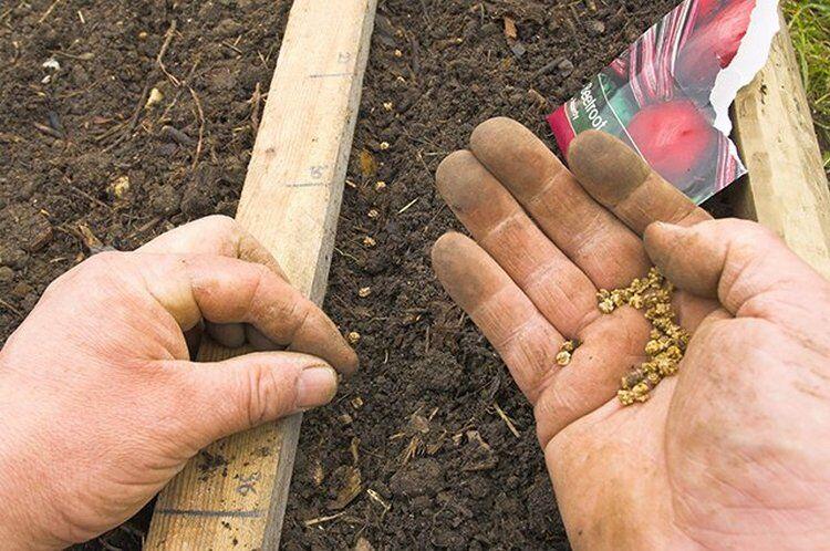 посев свеклы семенами