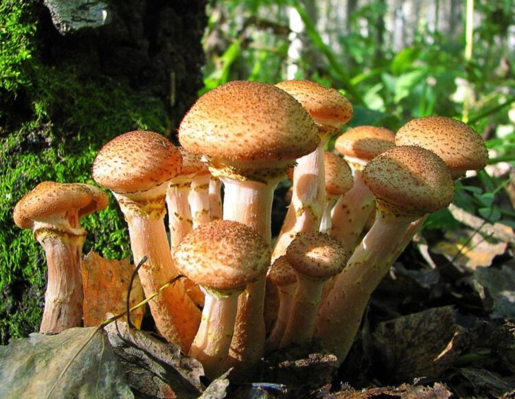 съедобные опята в лесу