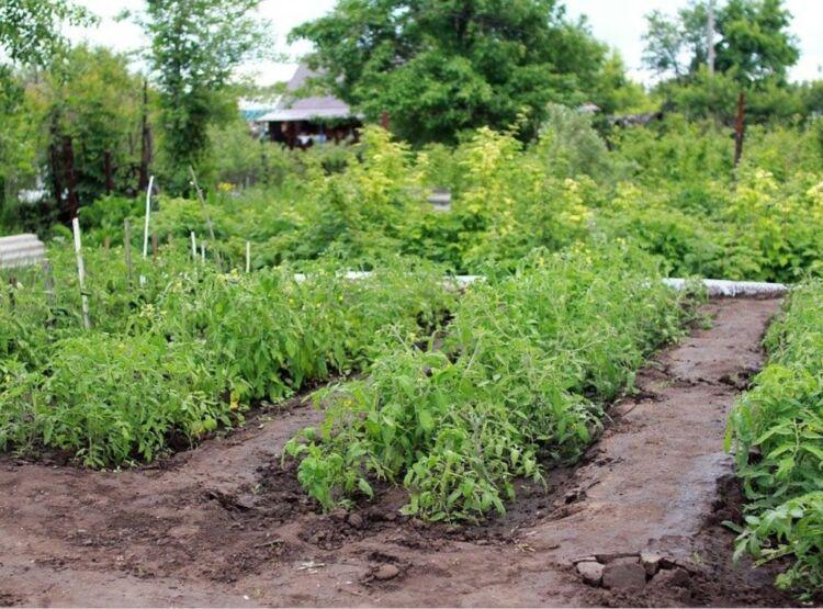 чем подкормить помидоры после высадки в открытый грунт