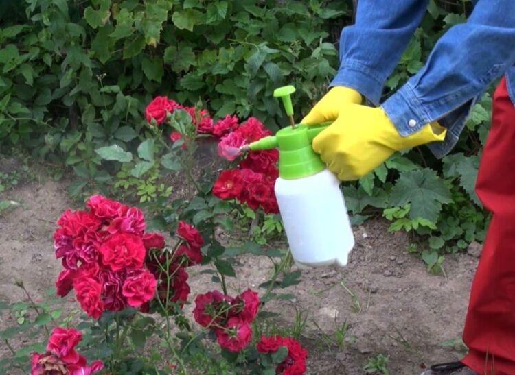 Брызгать розы от тли