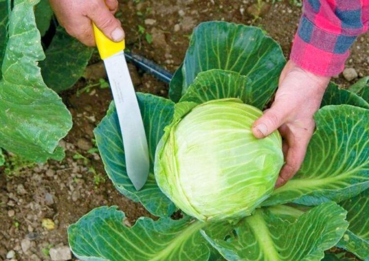 как срезать капусту правильно