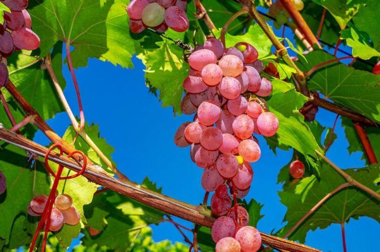 Как обрезать виноград осенью