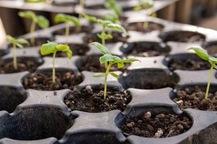 посадка помидор на рассаду в 2022